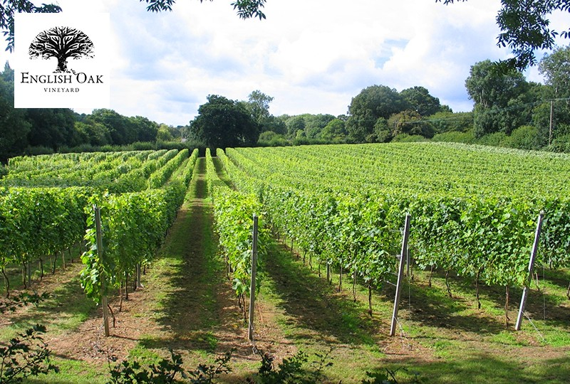 English Oak Vineyard, Lytchett Matravers